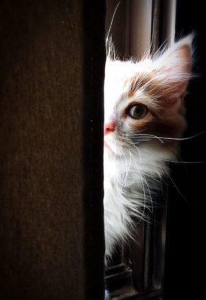 chat mignon, chat domestique, chaton yeux, félin, fourrure, minou regarder, mammifère, animal animal de compagnie