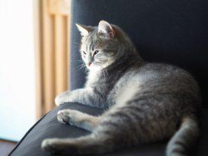 Animal, animal de compagnie, chat, fourrure, fauteuil, chaton