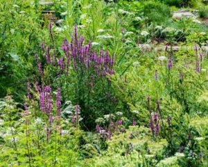 Jardin Sage, Plantes, Fleurs, Fleur, Nature, Jardin